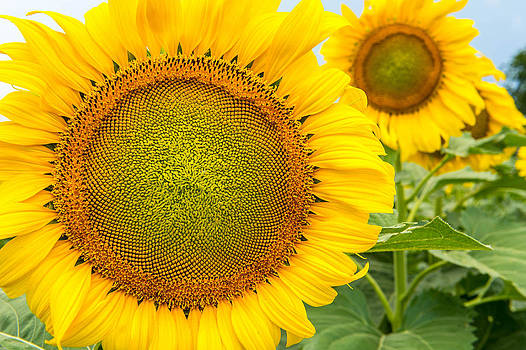 Sunflowers  by Ray Downs