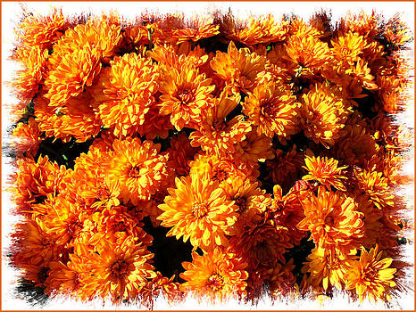 Chantal PhotoPix - Sunlit Chrysanthemums on a Fall Day