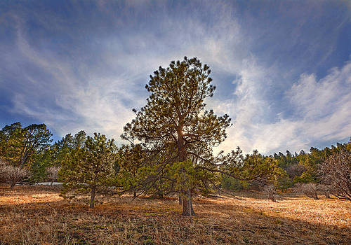 Nathan Mccreery - Sunlit Ponderosa  White Mountains  New Mexico