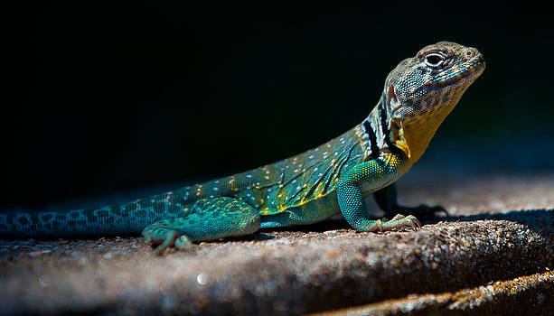 Sunning Lizard by Rob Morgan