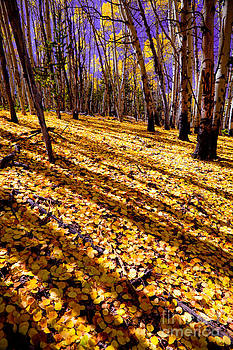 Sunny Aspen Day by Barbara Schultheis