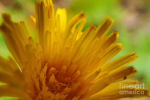 Sunny Dandy by Diane Stresing