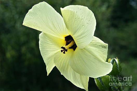 Byron Varvarigos - Sunset Hibiscus