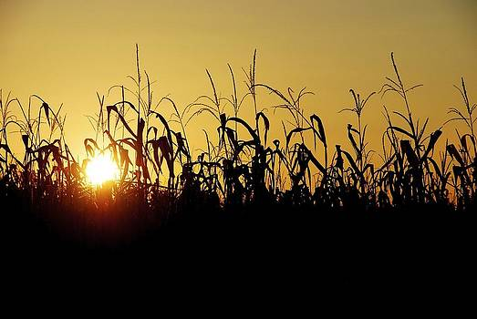 Sunset Over Corn by Ryan Louis Maccione