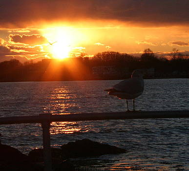 Sunset Seagull by Stephen Melcher