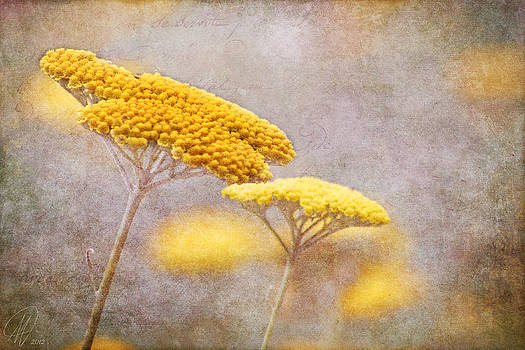 Sunshine Achillea by Margaret Hormann Bfa
