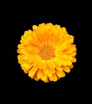 Sunshine Gerber by Sherry Fain