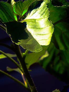 Sunshine Leaf by Bill Hent
