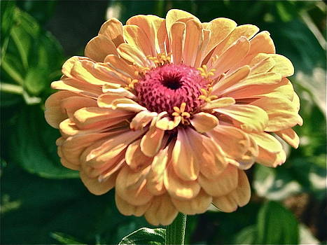Sunshine Zinnia by Cynthia Templin