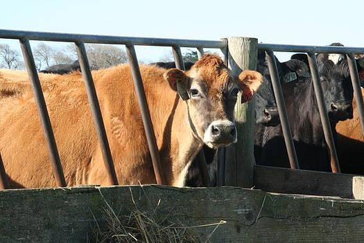 Jersey Cow in Ferndale by Lucie Buchert