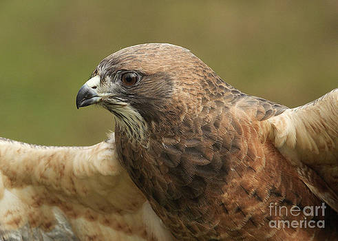 Swainson's Hawk by Doug Herr