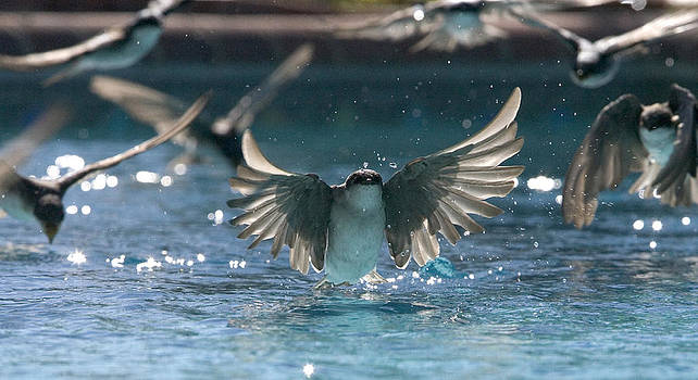 Swallows drink from pool by Bryan Allen