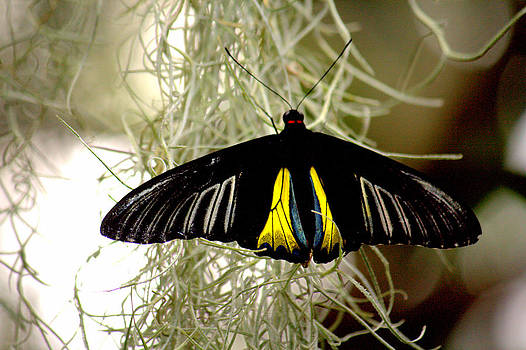 Swallowtail Butterfly by Jale Fancey