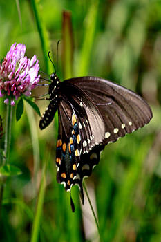 Swallowtail Butterfly by Kris Napier