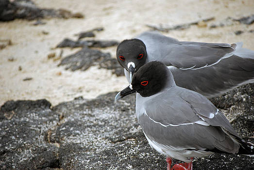 Harvey Barrison - Swallowtail Gulls