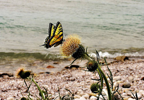 Matthew Winn - Swallowtail in Spring