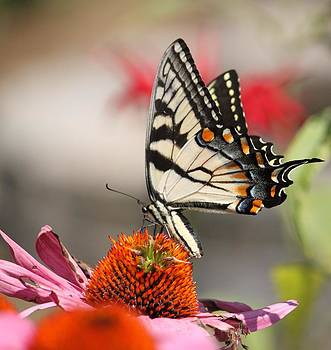 Swallowtail  by Jody Neugebauer