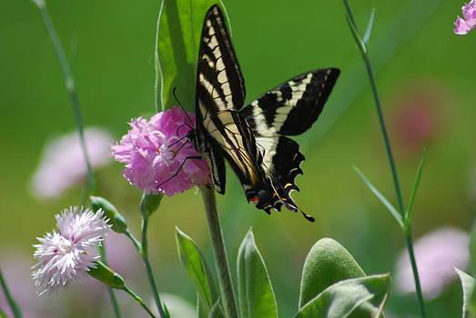 Swallowtail on Pink by Wanda Jesfield