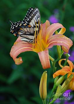 Joy Bradley - Swallowtail Tiger Butterfly