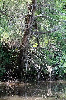 Deborah Hughes - Swamp Tree