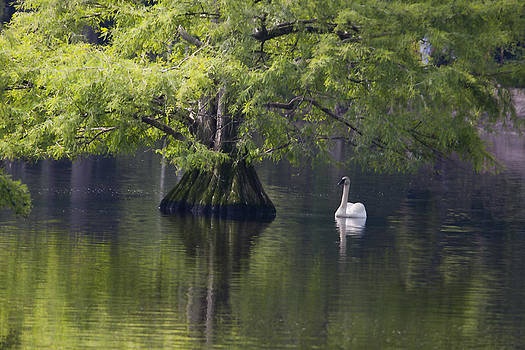 Terry Shoemaker - Swan and Cypress tree