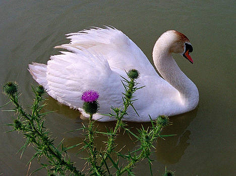 Swan and Thistle by Bruce Ritchie