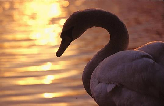 Swan by Andrew Shlykoff