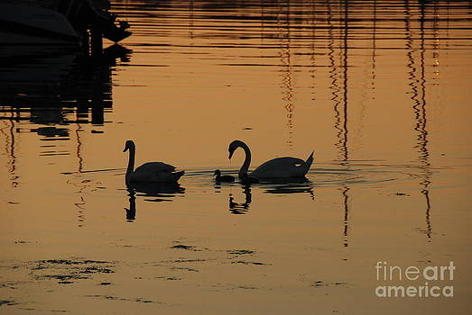 Swan family at sunset by Camilla Brattemark