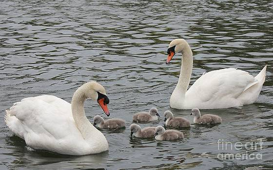 Swan Family by Scenesational Photos