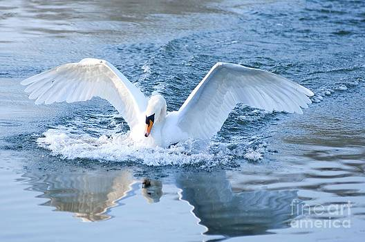 Swan landing by Andrew  Michael