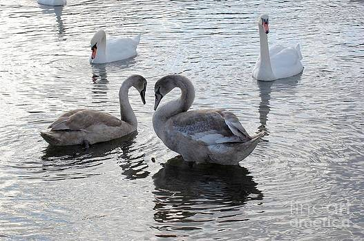 Swan Love by Marsha Thornton