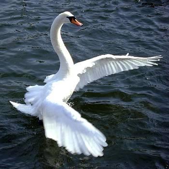 Swan ready for take off by ilendra Vyas