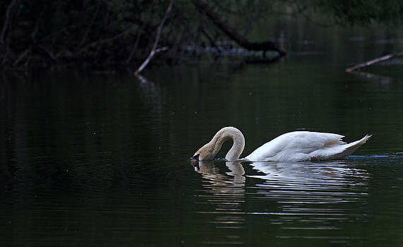 Swan reflection by Cheryl Cencich