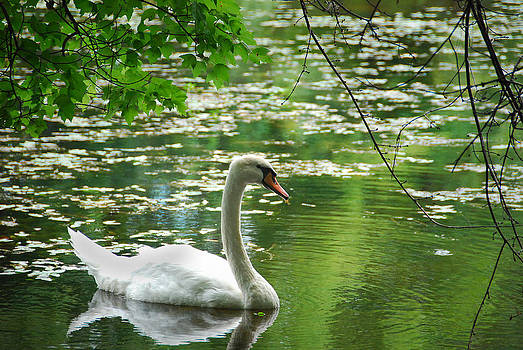 Swan by Roger Phipps
