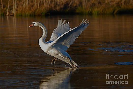 Swan Wars 2 by Doug Thwaites