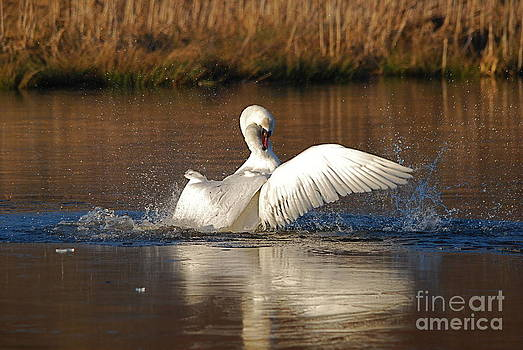 Swan Wars 5 by Doug Thwaites