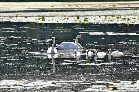 Swans and cygnets by Healing Woman
