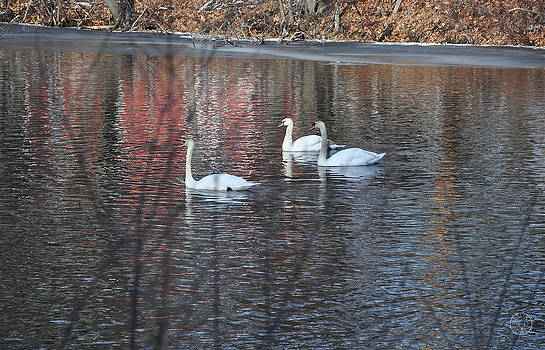 Swans in Winter by Healing Woman