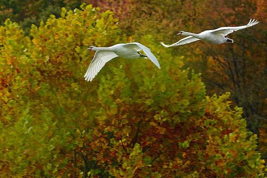 Swans on Lake Logan by Dick Wood