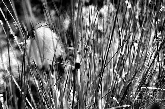 Swedish Wool grass by Matthias Siewert