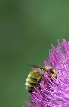 Donna Blackhall - Sweet Bee