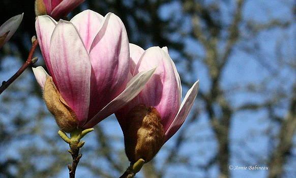 Anne Babineau - sweet magnolia