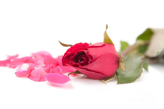 Sweet pink rose and petals by Jantima  Cha