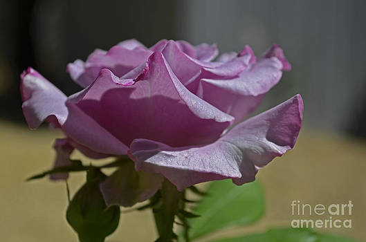 Sweet Prairie Rose by Suze Taylor