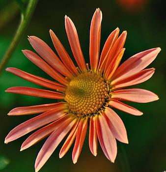 Michelle Cruz - Sweet Spring Pink Daisy