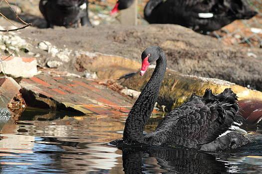 Swiming Swan by Glenn Lawrence