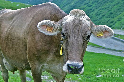 Swiss Cow Stare Down by James Thomas