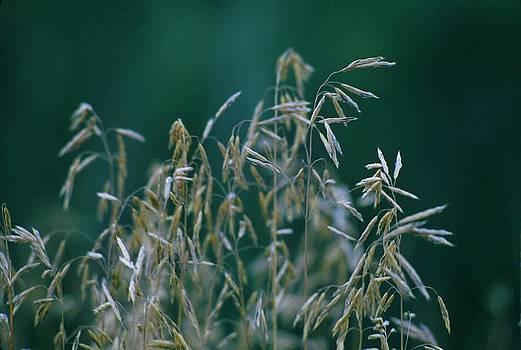 Tall grass seeds by Jaye Crist