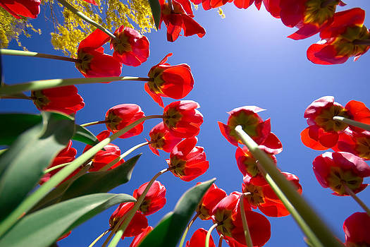 Tall Tulips by Kevin Kratka