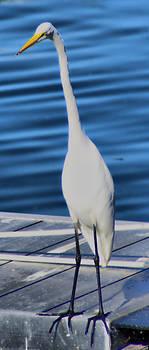 Tall White Crane HDR by Thomas  MacPherson Jr
